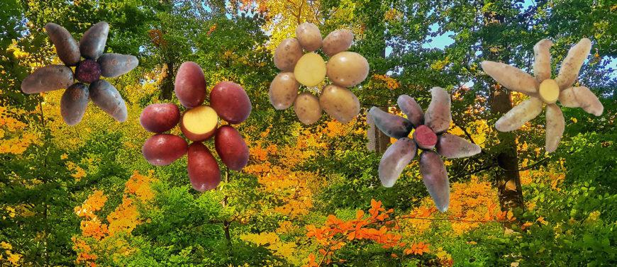 Sortenvielfalt und Frische: Unsere Kartoffeln